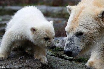 Первые уроки плавания белого медвежонка